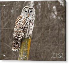 Barred Owl Acrylic Print by Kathy M Krause