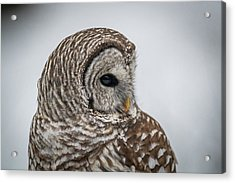 Acrylic Print featuring the photograph Barred Owl Portrait by Paul Freidlund