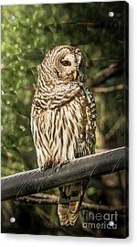 Barred Owl Acrylic Print by Robert Frederick