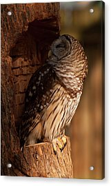 Acrylic Print featuring the digital art Barred Owl Sleeping In A Tree by Chris Flees
