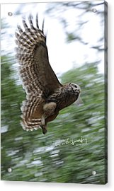 Barred Owl Taking Flight Acrylic Print