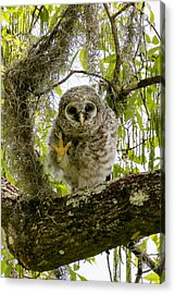 Acrylic Print featuring the photograph Barred Owlet High Four by Phil Stone
