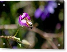 Bashful Bee  Acrylic Print