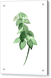 Basil Watercolor Art Print Painting Acrylic Print