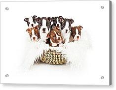 Basket Of Boston Terrier Puppies Acrylic Print by Susan Schmitz
