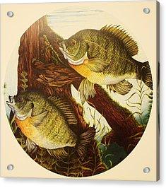 Basking Bluegills Acrylic Print by Bruce Bley