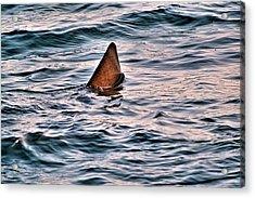 Basking Shark In July Acrylic Print