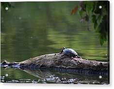Acrylic Print featuring the photograph Basking Turtle by Lyle Hatch
