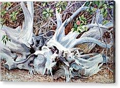 Bass River Cedar Stump Acrylic Print