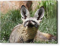 Bat-eared Fox Acrylic Print