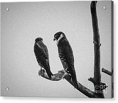 Bat Falcon In Black And White Acrylic Print