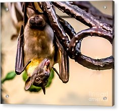 Bat Gobbling Apple Acrylic Print