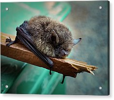 Acrylic Print featuring the photograph Bat Rehoused by Jean Noren
