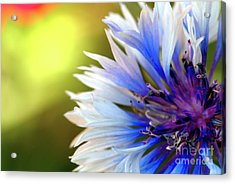 Batchelors Blue And White Button Acrylic Print