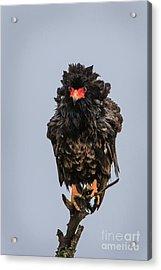 Bateleur Eagle Acrylic Print