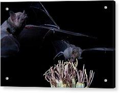 Bats At Work Acrylic Print by E Mac MacKay