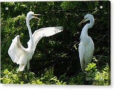 Battle Of The Egrets Acrylic Print