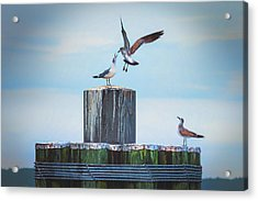 Acrylic Print featuring the photograph Battle Of The Gulls by Cindy Lark Hartman