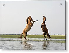Battling Mustangs Acrylic Print