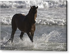 Bay Andalusian Stallion In The Surf Acrylic Print by Carol Walker