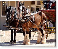 Bay Colored Clydesdale Horses Acrylic Print