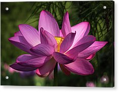 Acrylic Print featuring the photograph Be Like The Lotus by Cindy Lark Hartman