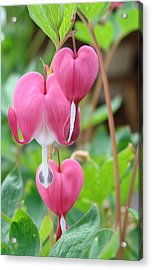 Acrylic Print featuring the photograph Be Still My Little Bleeding Heart by Margaret Bobb