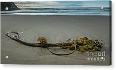 Beach Bull Kelp Laying Solo Acrylic Print