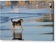 Beach Dog Playing Fetch Acrylic Print by Bonnie Follett