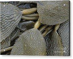 Beached Kelp Acrylic Print by Tim Grams