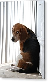 Acrylic Print featuring the photograph Beagle Attitude by Jennifer Ancker