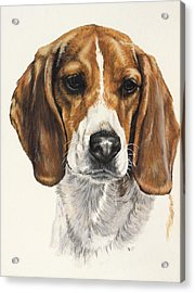 Beagle Acrylic Print by Barbara Keith