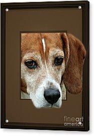 Beagle Peeking Out Acrylic Print