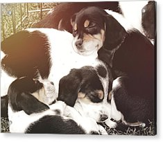 Beagle Pile Acrylic Print by JAMART Photography