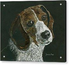 Beagle Portrait Acrylic Print by Jessica Kale