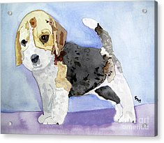 Beagle Pup Acrylic Print by Sandy McIntire