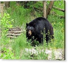 Bear 2 Acrylic Print by George Jones