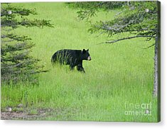 Bear Coming Acrylic Print