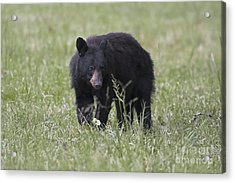Bear Cub With Apple Acrylic Print