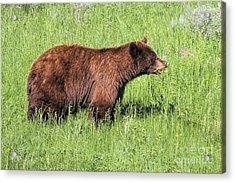 Bear Eating Daisies Acrylic Print
