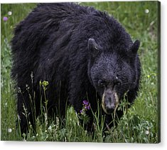 Bear Gaze Acrylic Print by Elizabeth Eldridge