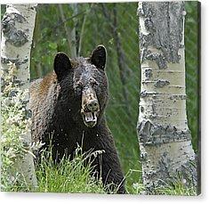 Bear In Yard Acrylic Print