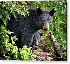 Bear Mom And Cub 9539 Acrylic Print by Dan Beauvais