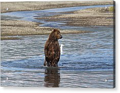 Bear Standing In River Acrylic Print