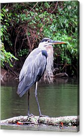 Bearded Blue Heron Acrylic Print
