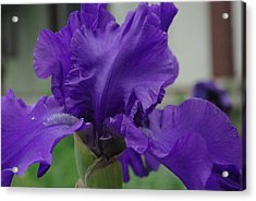 Bearded Blue Iris Acrylic Print by Robyn Stacey