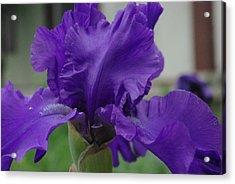 Bearded Blue Iris Acrylic Print