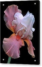 Bearded Iris Acrylic Print by Dave Mills