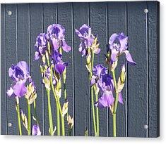 Bearded Iris  Acrylic Print by Laurie Kidd