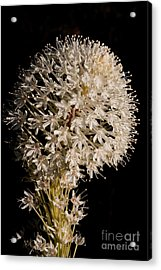 Beargrass Torch Acrylic Print by Katie LaSalle-Lowery